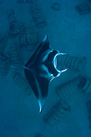 Manta Ray over artificial reef photo