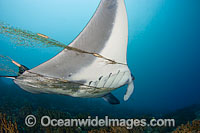 Manta Ray entangled in net Photo - David Fleetham