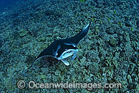 Manta Ray Manta birostris Photo - David Fleetham