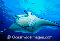 Manta Ray at cleaning station Photo - David Fleetham
