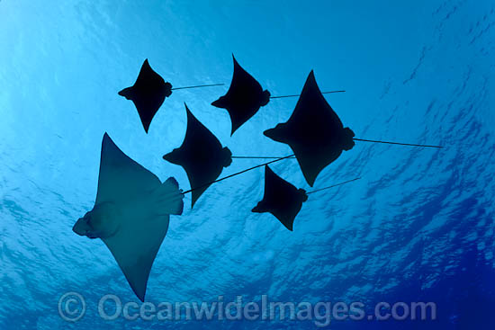 White-spotted Eagle Rays (Aetobatus narinari). Also known as Bonnet Skate, Duckbill Ray and Spotted Eagle Ray. Found in tropical seas throughout the world. Photo taken off Mahi, Hawaii.