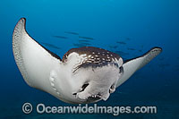 White-spotted Eagle Ray Photo - David Fleetham