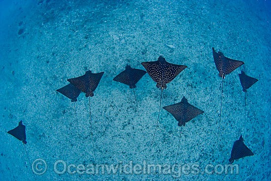 White-spotted Eagle Ray photo