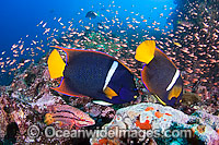 Angelfish and reef scene photo