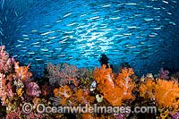 Tropical Reef Scene Photo - David Fleetham