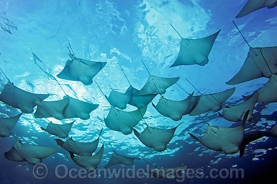 School of Pacific Cownose Rays (Rhinoptera steindachneri). Found in the waters of Colombia, Costa Rica, Ecuador, El Salvador, Guatemala, Honduras, Mexico, Nicaragua, Panama and Peru. Photo taken at Galapagos Islands.