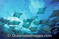 Pacific Cownose Rays Rhinoptera steindachneri Photo - David Fleetham