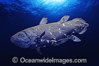 Coelacanth Latimeria chalumnae photo