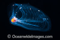 Pelagic Tunicate photo