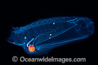 Pelagic Tunicate Salpa aspera photo