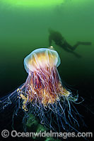 Diver with Lion's Mane Jellyfish image