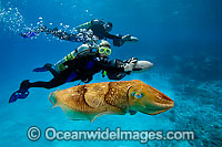 Scuba Diver and Cuttlefish photo