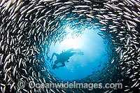 Diver Photographing schooling fish Photo - David Fleetham