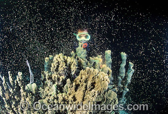 Mass coral spawning at night, showing suspended egg and sperm bundles in the water column. Photo taken in Coral Bay, Ningaloo Reef Marine Park, Western Australia Photo - Gary Bell