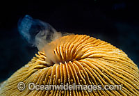 Mushroom Coral spawning egg Photo - Gary Bell