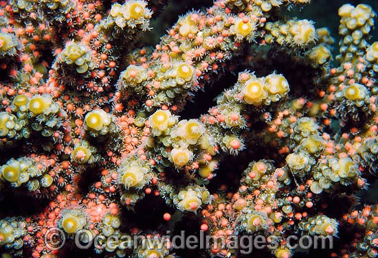 Acropora Coral spawning egg bundles in polyps