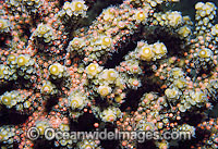 Acropora Coral spawning egg bundles in polyps Photo - Gary Bell