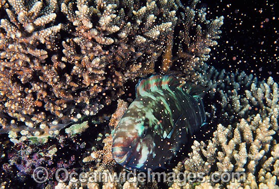 Parrotfish (Scarus schlegeli), female, resting at night in spawning Acropora Coral (Acropora sp.). Egg bundles set in polyps. Photo taken in Coral Bay, Ningaloo Reef, Western Australia