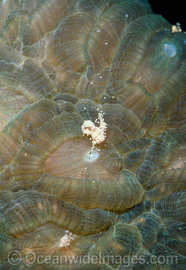 Coral spawning, showing suspended egg and sperm bundles. Great Barrier Reef, Queensland, Australia. Photo - Peter Harrison