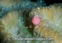 Coral spawning Photo - Peter Harrison