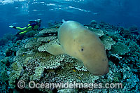 Diver with Dugong underwater Photo - David Fleetham