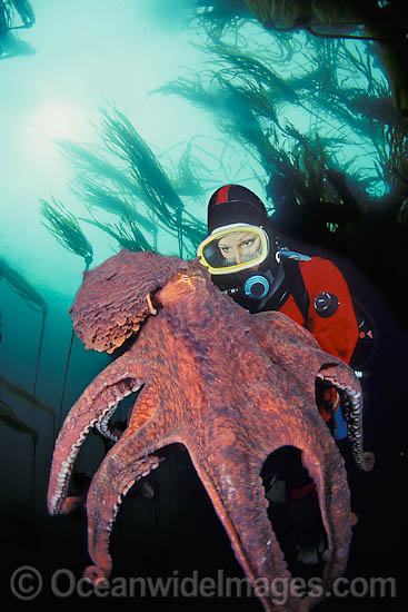 Octopus Attacking Diver