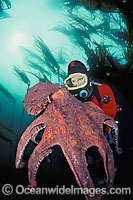 Giant Pacific Octopus and Diver Photo - David Fleetham