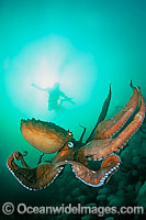 Giant Pacific Octopus Enteroctopus dofleini Photo - David Fleetham