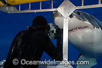 Diver photographing Great White Shark Photo - David Fleetham