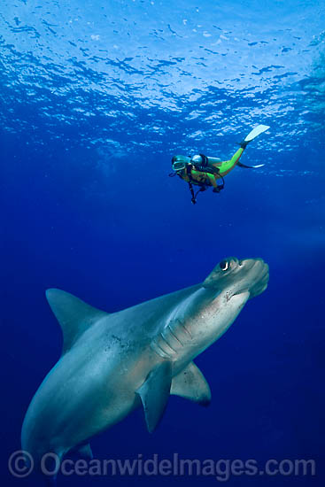 Diver observing a Scalloped Hammerhead Shark (Sphyrna lewini). Galapagos, Ecuador, Pacific Ocean. This is a composite image, comprising of 2 or more images digitally merged together.