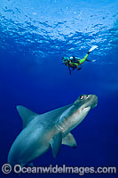 Diver and Hammerhead Shark image