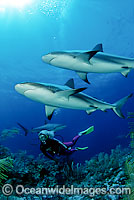 Caribbean Reef Shark Photo - David Fleetham