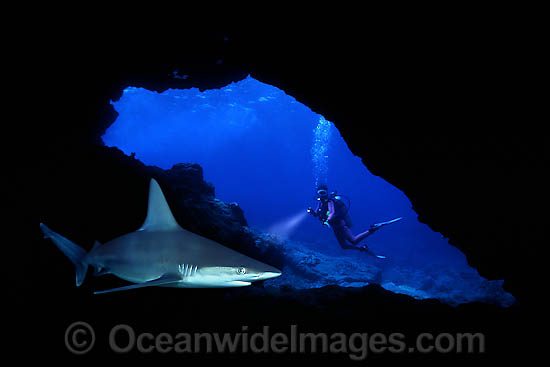 Diver observing a Sandbar Shark (Carcharhinus plumbeus) in a lava cavern. Maui, Hawaii, USA. This is a composite image, comprising of 2 or more images digitally merged together. Photo - David Fleetham