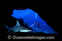 Diver and Sandbar Shark in cave photo