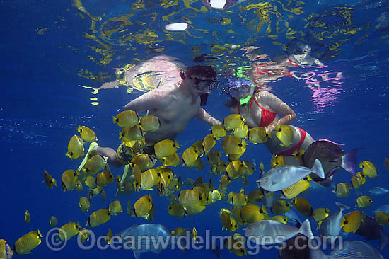 A couple of snorkelers (MR) free diving with a school of Milletseed Butterflyfish (Chaetodon miliaris) and other tropical fish. Photo taken off Hawaii, USA. Photo - David Fleetham
