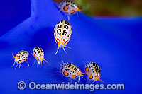 Gammaridean Amphipod Indonesia Photo - David Fleetham
