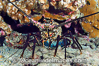 Banded Spiny Lobster Photo - David Fleetham