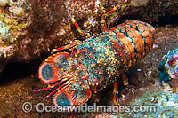 Regal Slipper Lobster Arctides regalis Photo - David Fleetham
