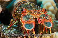 Regal Slipper Lobster Photo - David Fleetham