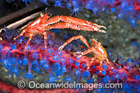 Squat Lobsters on coral Photo - David Fleetham