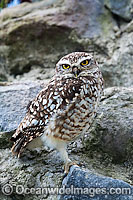Burrowing Owl Athene cunicularia Photo - David Fleetham