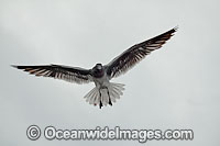 Lava Gull Larus fuliginosus Photo - David Fleetham