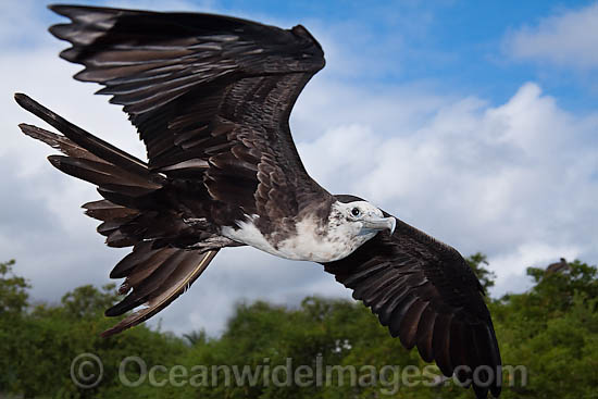 Magnificent Frigatebird (Fregata magnificens), adolescent in flight over Santa Cruz Island, Galapagos Archipelago, Ecuador. Photo - David Fleetham