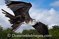 Magnificent Frigatebird Fregata magnificens Photo - David Fleetham