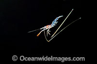 Larval Shrimp Photo - David Fleetham