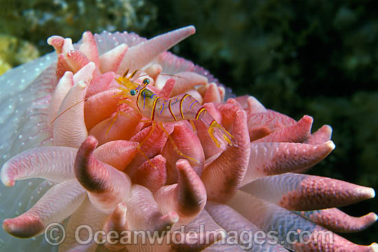 Shrimp on anemone with eggs
