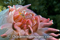 Shrimp on anemone with eggs Photo - David Fleetham