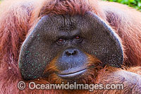 Orangutan Pongo pygmaeus Photo - David Fleetham