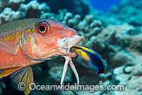Goatfish cleaned by wrasse