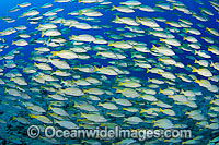 Schooling Blue-striped Snapper Photo - David Fleetham